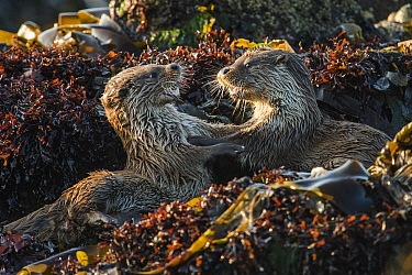 European river otter (Lutra lutra) cubs play fighting, Shetland, Scotland, UK, May.