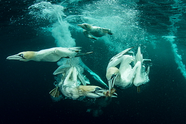 Gannets (Morus bassanus) diving to feed on discarded fish, Shetland, Scotland, UK, April.