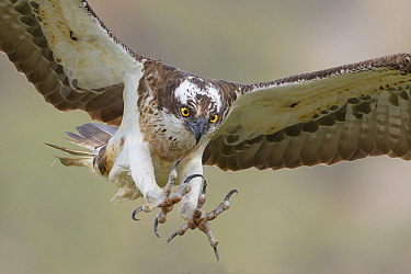Osprey (Pandion haliaetus) male flying with talons outstretched, Glenfeshie, Cairngorms National Park, Scotland, UK, May.