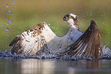 Osprey (Pandion haliaetus) fishing, Rothiemurchus, Cairngorms National Park, Scotland, UK, July.