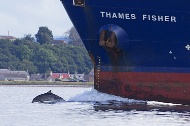 Bottlenose dolphin (Tursiops truncatus) bow riding a ship, Moray Firth, Inverness, Scotland, UK, July 2014.