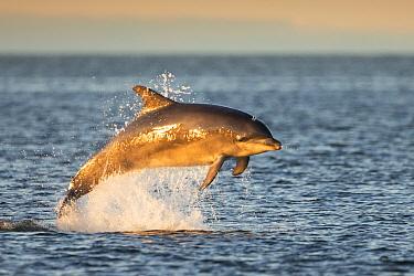 Bottlenose dolphin (Tursiops truncatus) breaching, Moray Firth, Scotland, UK, July.