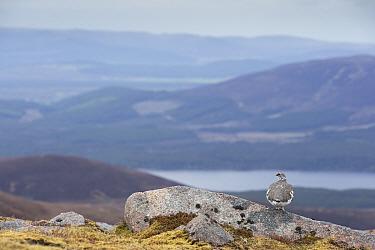 Ptarmigan (Lagopus mutus) male in breeding plumage in mountain habitat, Cairngorms National Park, Scotland, UK, May 2015.
