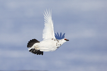 Ptarmigan (Lagopus mutus) male in winter plumage flying, Cairngorms National Park, Scotland, UK, February.