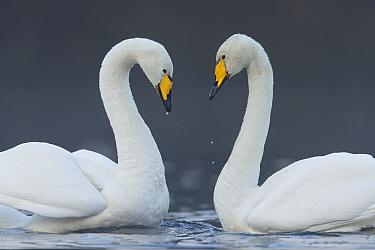 Whooper swan (Cygnus cygnus) pair on loch in heart shape, Cairngorms National Park, Scotland, UK, November.