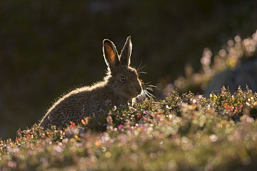 Mountain hare (Lepus timidus) leveret backlit on heather moorland, Scotland, UK, August.