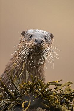 Eurasian otter (Lutra lutra) portrait, Scotland, UK, April.