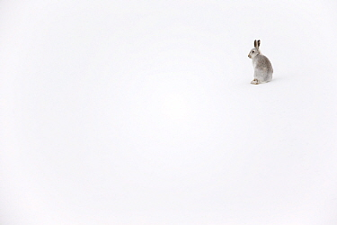 Mountain hare (Lepus timidus) in winter pelage sitting in snow, Scotland, UK, February.