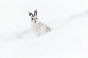 Mountain hare (Lepus timidus) in winter pelage sitting on snow, Scotland, UK, February.
