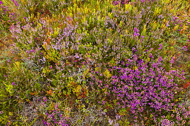 Mosiac of Cross leaved heath (Erica tetralix), Ling (Calluna vulgaris), Bell heather (Erica cinerea) and Bilberry (Vaccinium myrtillus) on upland heath, Cairngorms National Park, Scotland, UK, August.