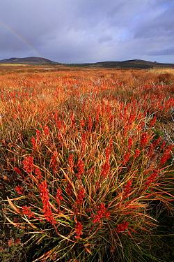 Bog Asphodel (Narthecium ossifragum) post-flowering in autumn, northern Scotland, UK,