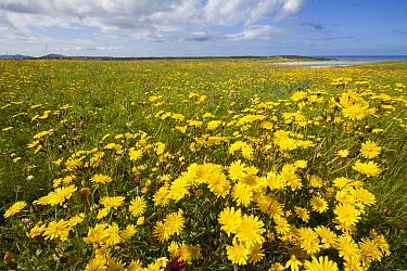 Flowering machair, South Uist, Outer Hebrides, Scotland, UK,