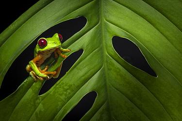 Red-eyed treefrog (Agalychnis calidryas) Costa Rica, April 2015.