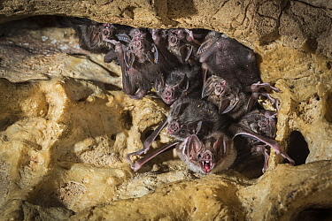 Common vampire bats (Desmodus rotundus) roosting in cave, Costa Rica.