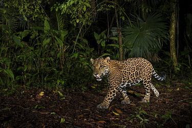 Jaguar (Panthera onca) camera trap image,  Tortuguero National Park, Costa Rica.