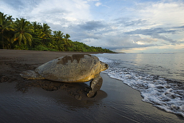 Green sea turtle female (Chelonia mydas) walking on beach after nesting in Tortuguero National Park, Costa Rica.