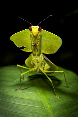 Leaf mantis (Choeradodis sp.) Tortuguero National Park, Costa Rica.