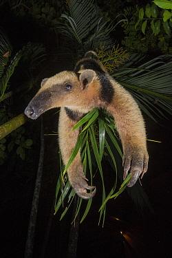 Northern tamandua (Tamandua mexicana) Nicoya Peninsula, Costa Rica.