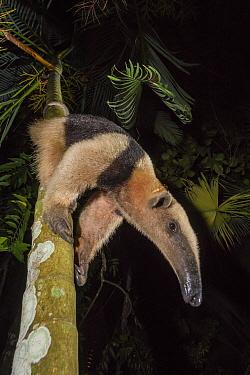 Northern tamandua (Tamandua mexicana) climbing down tree, Nicoya Peninsula, Costa Rica, April 2013.