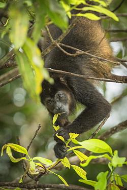 Mantled howler monkey (Alouatta palliata) feeding on leaves, Costa Rica.