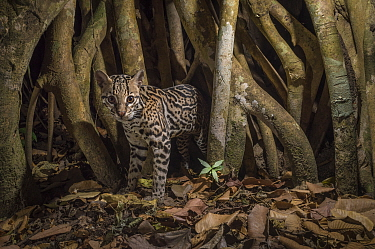 Ocelot (Leopardus pardalis) camera trap image,  Nicoya Peninsula, Costa Rica.