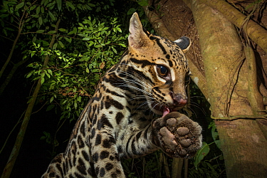 Ocelot (Leopardus pardalis) grooming paw. camera trap image, Nicoya Peninsula, Costa Rica.