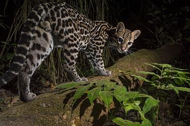 Ocelot (Leopardus pardalis) walking, camera trap image,  Nicoya Peninsula, Costa Rica.
