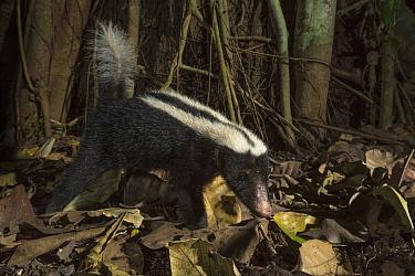 Stripe hog-nosed skunk (Conepatus semistriatus) camera trap image,  Nicoya Peninsula, Costa Rica.