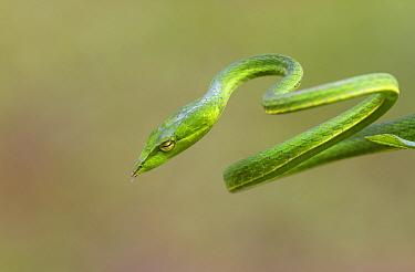 Green vine snake (Aheatulla nasuta), Agumbe, Karnataka