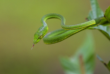 Green vine snake (Aheatulla nasuta), Agumbe, Karnataka, India.