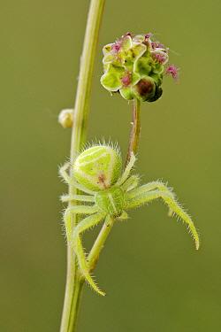 Crab spider (Heriaeus hirtus) resting on Salad burnet (Sanguisorba minor), Provence, France, May.