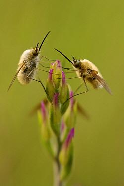 Bee-fly (Bombylius sp.) on Red Helleborine (Cephalanthera rubra) buds, Verdon Regional Natural Park, France, May.