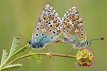 Adonis blue butterflies (Polyommatus bellargus) pair mating on Salad burnet (Sanguisorba minor), Provence, France, May.