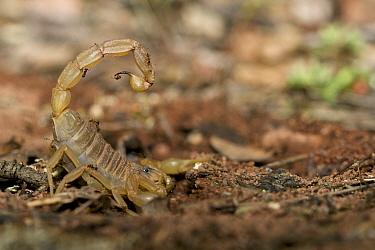 European buthus scorpion (Buthus occitanus), Plaine des Maures National Natural Reserve, France, April.