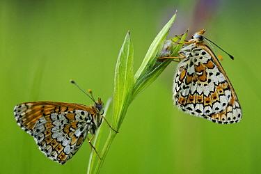 Glanville fritillary butterflies (Melitaea cinxia), Ardeche Mountains Regional Park, France, May.
