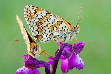 Knapweed fritillary butterflies (Melitaea phoebe) on Green winged orchid (Anacamptis morio),  Grands Causses Regional Natural Park, France, May.