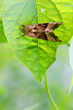 Angle shades moth (Phlogophora meticulosa), Loire river, France, August.
