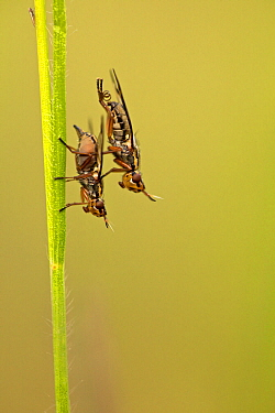 Picture-winged fly (Platystoma sp.) mating, Prealpes d'Azur Regional Natural Park, France, May.