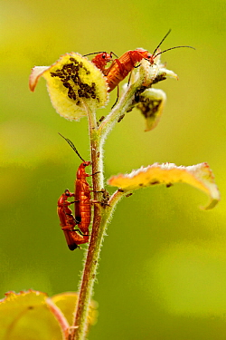 Common soldier beetle (Rhagonycha fulva) mating pairs, La Brenne Regional Natural Park, France, June.
