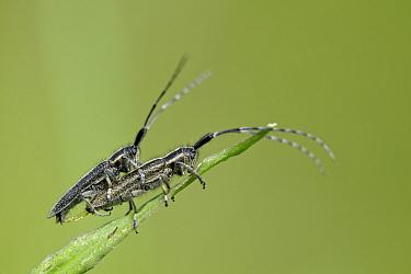 Longhorn beetles (Agapanthia cardui) mating,  Grands Causses Regional Natural Park, France, May.