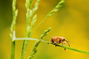 Hazelnut weevil (Curculio nucum) on a grass, La Brenne Regional Natural Park, France, May.