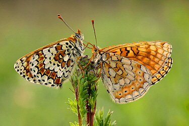 Knapweed fritillary butterfly (Melitaea phoebe) and Marsh fritillary butterfly (Euphydryas aurinia), Luberon Regional Natural Park, France, April.