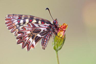 Southern Festoon butterfly (Zerynthia polyxena), Plaine des Maures National Natural Reserve, France, April.