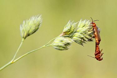 Common soldier beetle (Rhagonycha fulva) mating, Haute-Savoie, France, June.