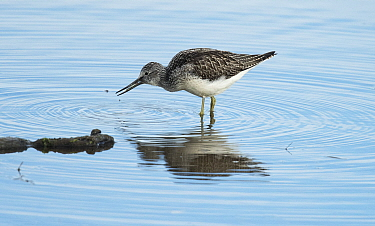 Common Greenshank (Tringa nebularia) catching a fish (minnow species) and attempting to eat it. Druridge Pools Nature Reserve, Northumberland, England, UK.