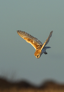 Barn owl (Tyto alba) in flight, hunting and about to dive  into the edge of a reedbed, , late afternoon, February  Druridge Bay, Northumberland, England, UK.