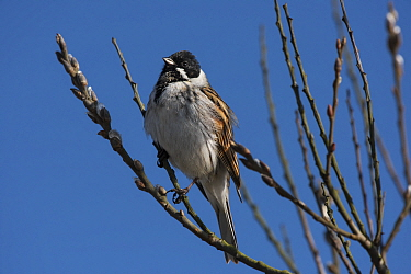 Reed bunting (Emberiza schoeniclus) male looking over breeding territory from a Willow tree in bud. Druridge Pools Nature Reserve, Northumberland, England, UK. March.
