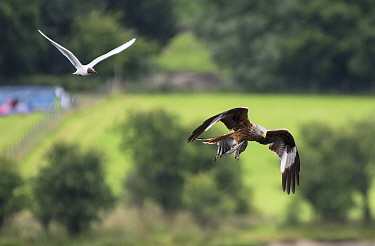 Red Kite (Milvus milvus) flying off with a Black-headed Gull chick (Larus ridibindus) and its parent flying after it. Ken / Dee Marshes Nature Reserve, New Galloway, Scotland, UK. July