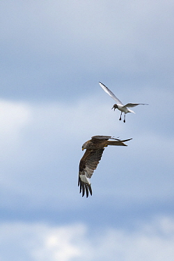 Red Kite (Milvus milvus) hunting for food and Black-headed Gull (Larus ridibindus) trying to derive it away  protect its chicks.  Ken / Dee Marshes Nature Reserve, New Galloway, Scotland, UK. July