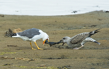 Lesser Black-backed Gull adult (Larus fuscus) disgorging a fish for a juvenile. Druridge Pools Nature Reserve, Northumberland, England UK. August.
